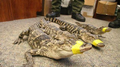 Four young alligators were captured near a Peconic