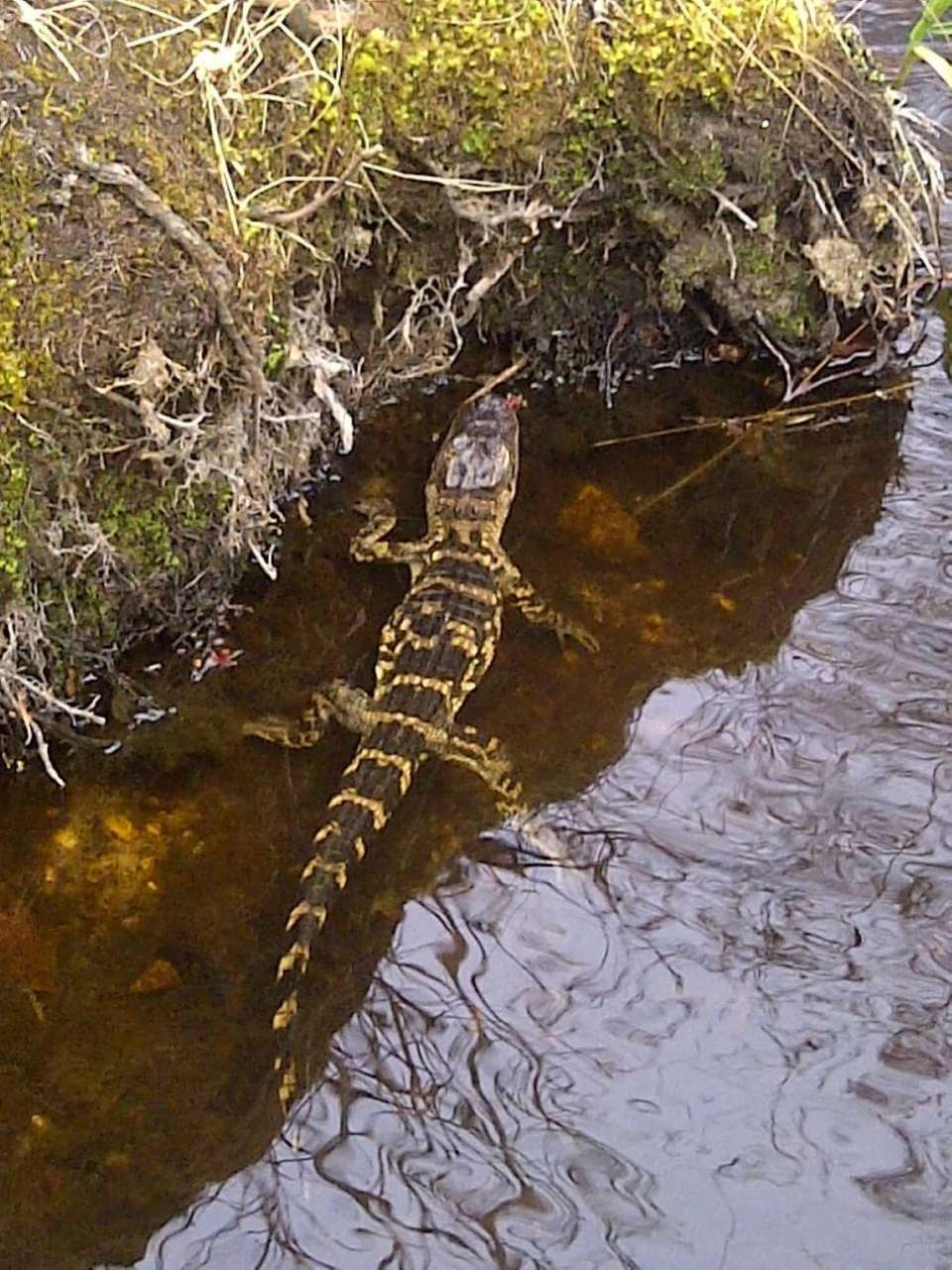 One of four young alligator captured near a