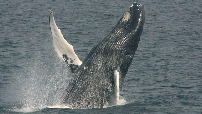 Undated photo of the whale Istar leaping out