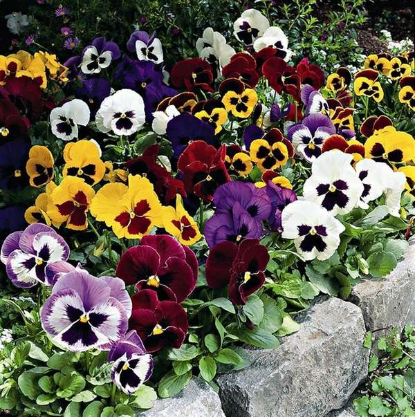 To encourage repeat blooms, deadhead pansies as flowers