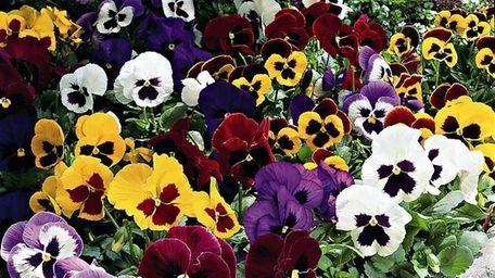 To encourage repeat blooms, deadhead pansies as flowers