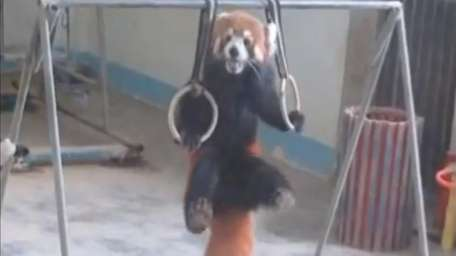 A red panda doing pull-ups.