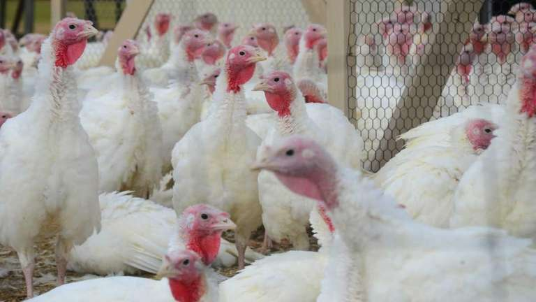 Turkeys are vulnerable to bacterial infection. (Nov. 3,