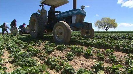 Farms on the East End are harvesting asparagus,