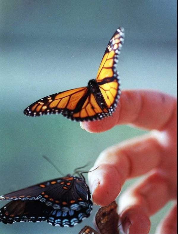 A closeup photo shows a monarch butterfly, top,