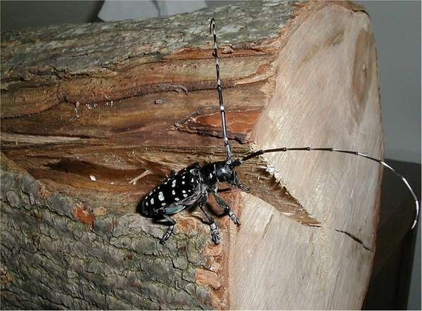 An Asian Longhorned Beetle crawls along a sawed