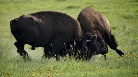 Bison rut from Discovery Channel's
