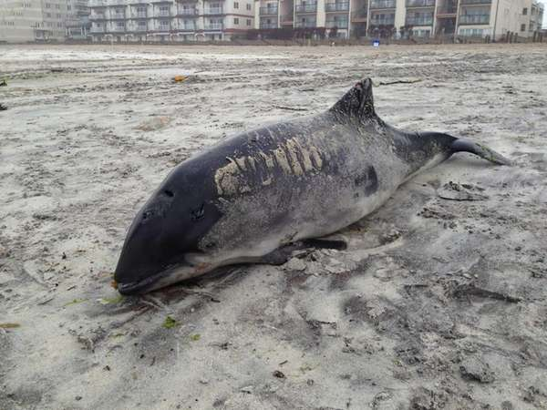 A dead harbor porpoise lays on the beach