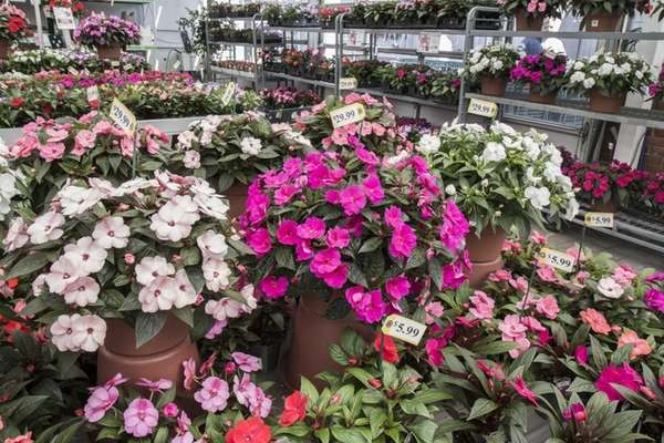 New Guinea impatiens are available at Atlantic Nursery