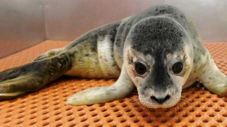 A harbor seal pup relaxes at the Riverhead