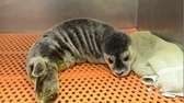 A harbor seal pup is recovering and being
