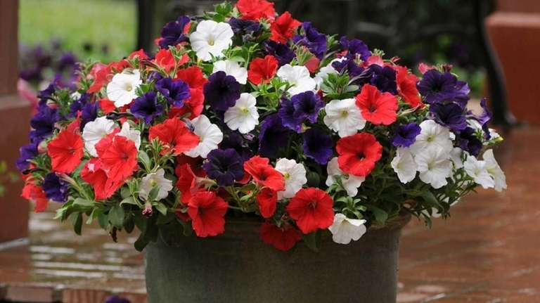 The Betsy Ross arrangement includes Petunia Suncatcher Midnight
