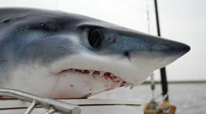 A stock photo of a mako shark caught