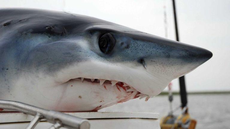 A stock photo of a mako shark caught