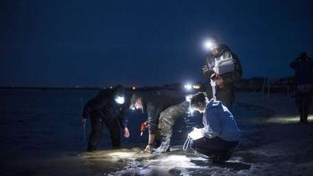 By the light from headlamps, volunteers measure and