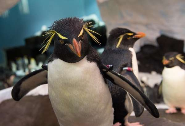 A rockhopper penguin at Antarctica: Empire of the