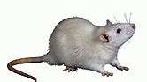 Tumors in rodents exposed to dim light seemed
