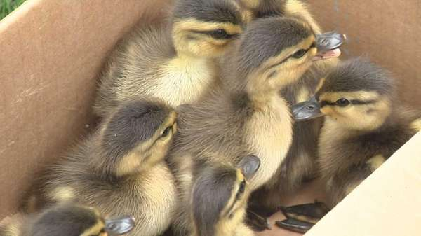 Suffolk County police rescued eight ducklings from a