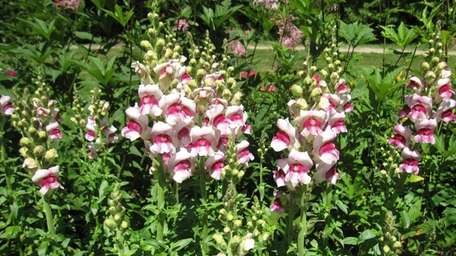 In July, gardeners will want to pinch spent