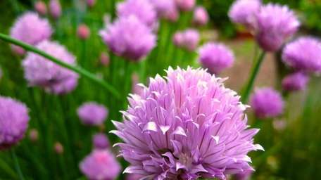 Chives growing in a kitchen garden near Langley,