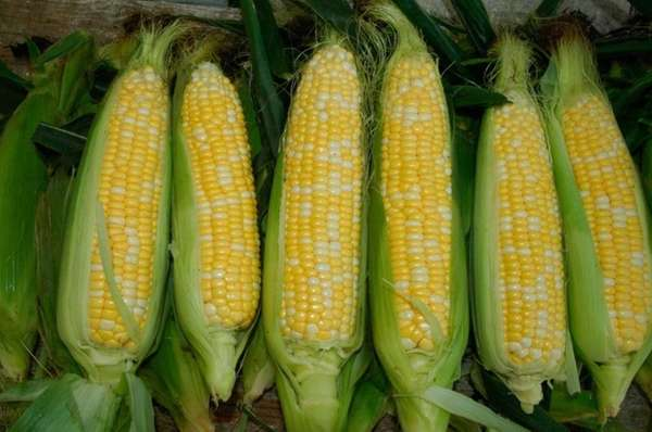 The Sweet Corn Festival takes place July 13-14,