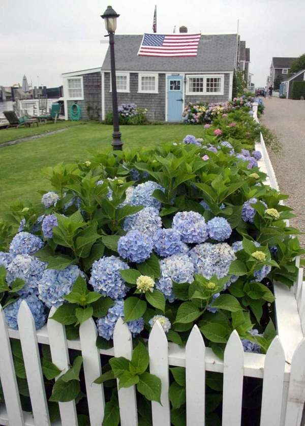 Not fans of full sun, hydrangeas perform best