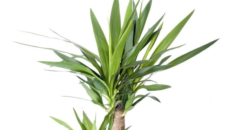When pruning a yucca, don't discard the removed