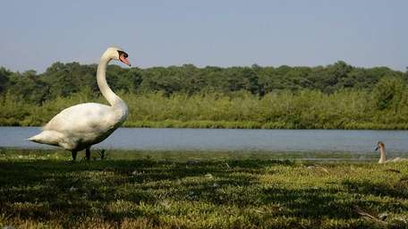 A swan stands along the banks of the