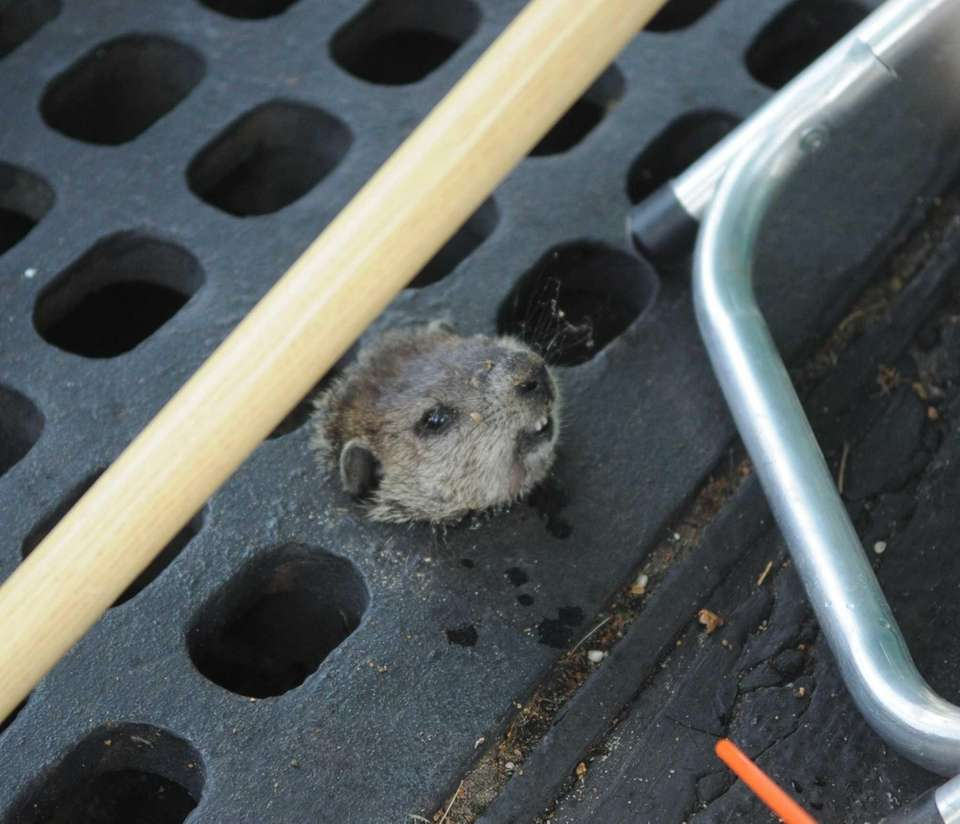 A trapped woodchuck awaits help from Suffolk police,