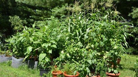 Bob Clark of Setauket grows corn, eggplant, cucumbers,