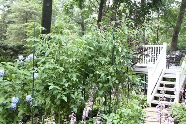 Reader Lionel Mailloux is growing towering, 8-foot-tall tomato