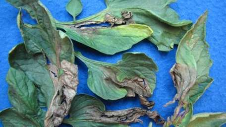 Late blight-affected leaves found on an infected tomato