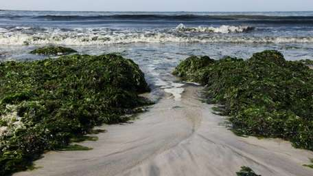 Seaweed washes ashore at Point Lookout beach. (July