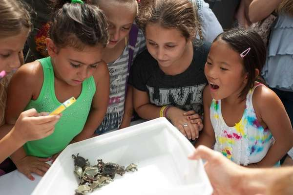 During Turtle Hatch Day at the Cold Spring