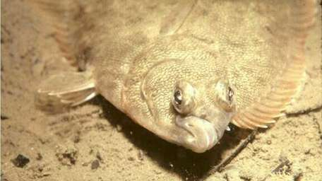 Winter flounder are inbreeding near several bays on
