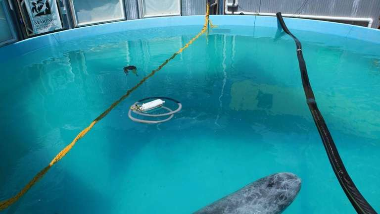 Roxanne, the 700-pound Rizzo's dolphin that was rescued
