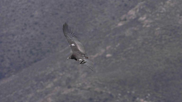 A California condor in flight over the Pinnacles