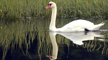 A swan makes its way through the waters