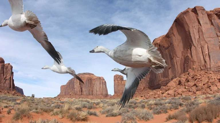 Snow geese flying through Monument Valley in a