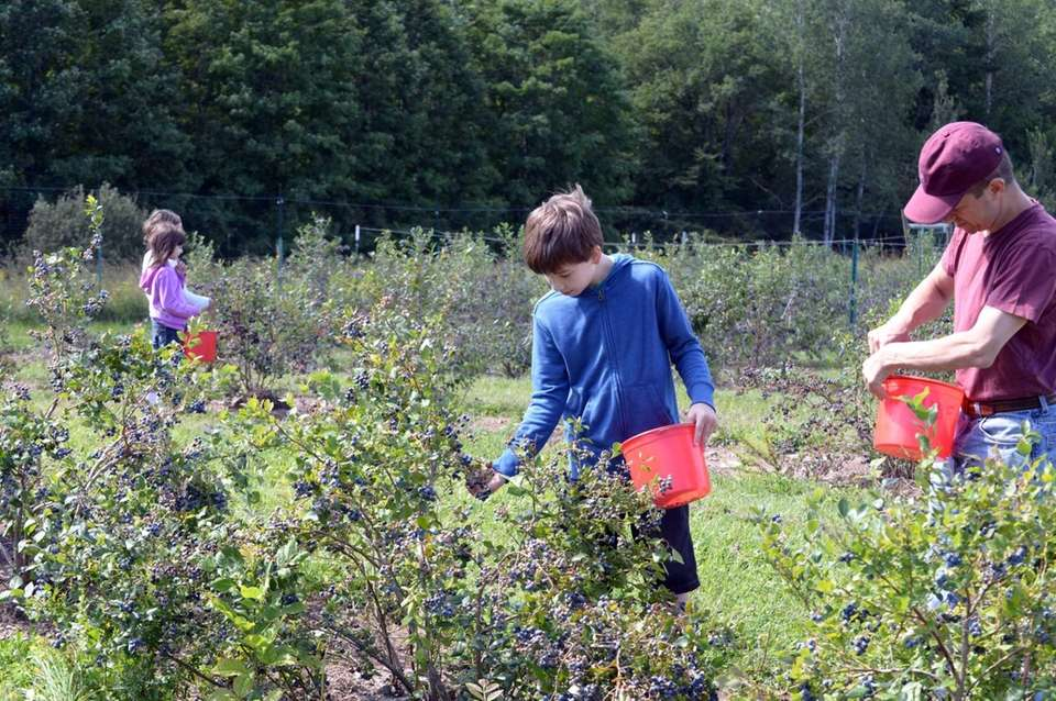 Handsome Brook Farm guests pick blueberries. (Aug. 5,