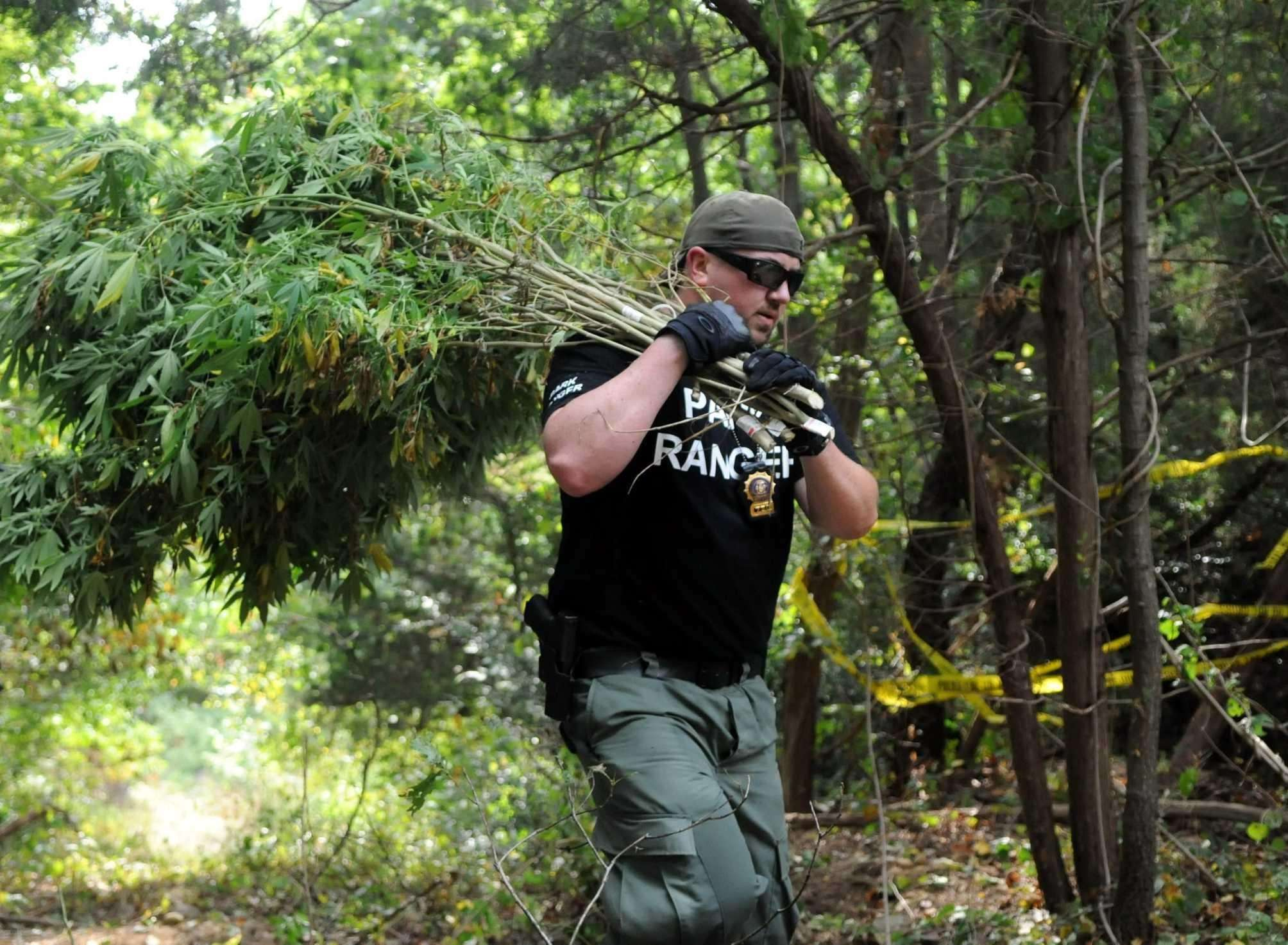 A park ranger removes marijuana plants from a growing operation in a Commack sump on Sept. 12, 2013. Credit: James Carbone