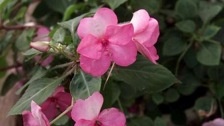 Impatiens will likely be plagued by downy mildew