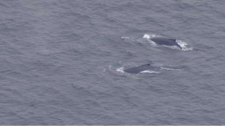 Two humpback whales were spotted swimming off the