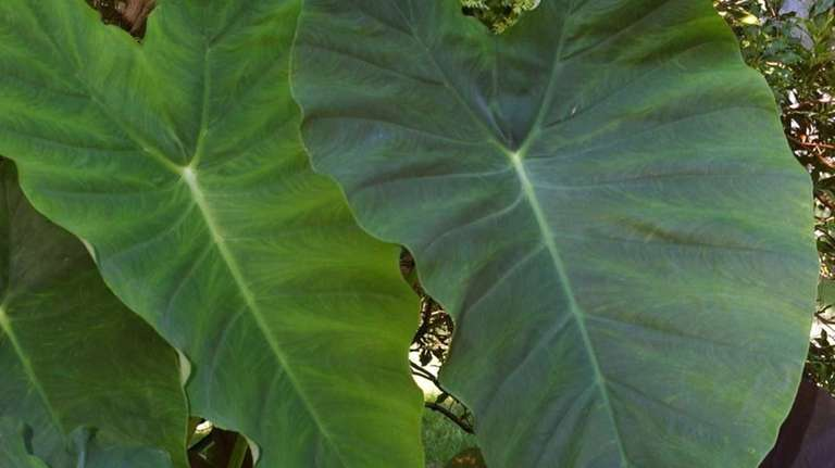 Tropical elephant ears are a gamble if left
