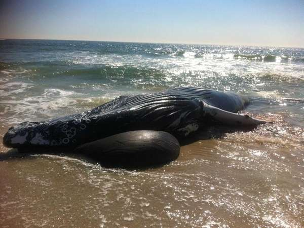 dead humpback whale was found at Gilgo beach   Oct  1  2013   Credit    Dead Humpback Whale