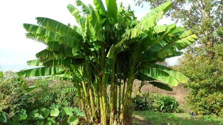 The Japanese hardy banana (Musa basjoo) -- also