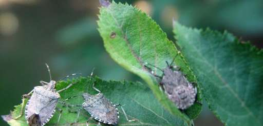 Brown marmorated stink bugs (Halyomorpha halys ) are