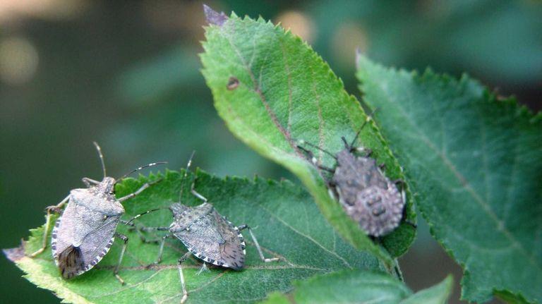 Brown marmorated stink bugs (Halyomorpha halys ) are