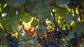 Grapevines at Kontokosta Winery in Greenport. (Oct. 5,