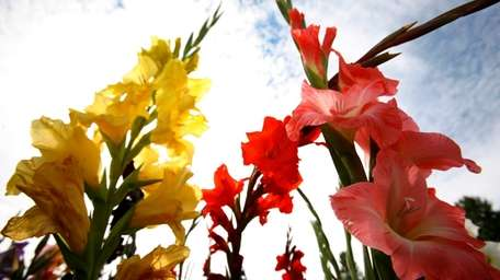Dig up and store gladioli (pictured), cannas, colocasias,